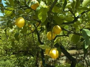 http://www.freeimages.com/photo/lemon-tree-1327476
